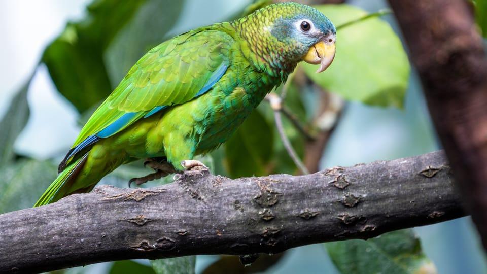 Jamaika-Amazone  (Foto: Petr Hamerník,  Archiv des Prager Zoos)