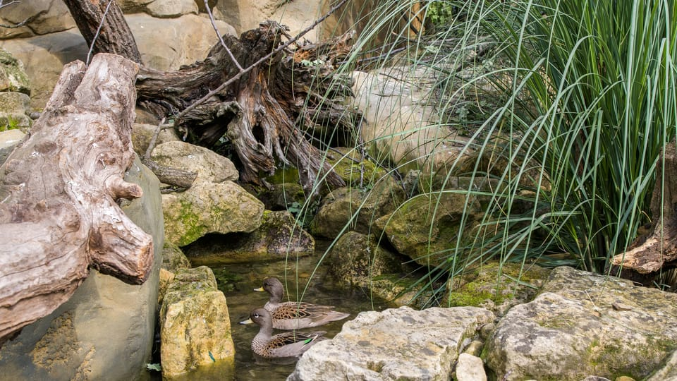 Chile-Krickente  (Foto: Petr Hamerník,  Archiv des Prager Zoos)