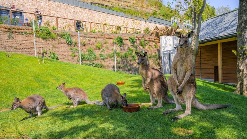 Rotnackenwallaby und Östliches Graues Riesenkänguru  (Foto: Archiv des Prager Zoos)